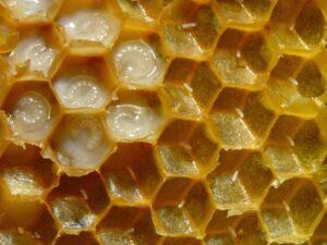 A méhpempőt a méhek is kedvelik